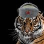 Tiger med rysk mössa